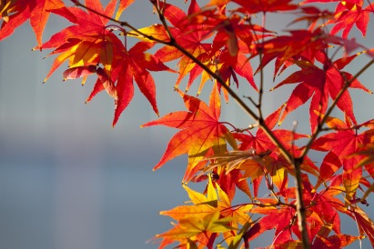 maple-leaf-2933340_1920.jpg